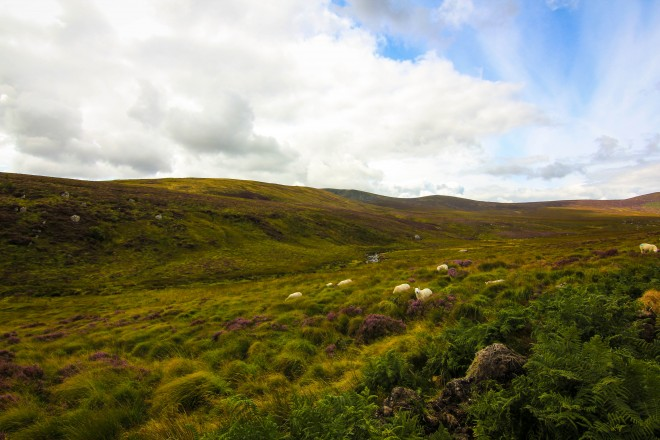 Wicklow Mountains sheep landscape