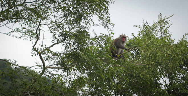 taiwan monkey in tree