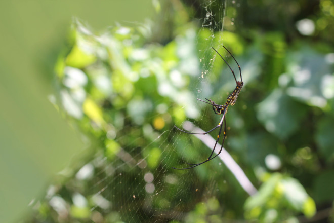 black and yellow spider in web